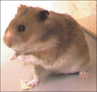 Photograph of a hamster.