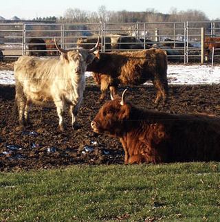 the science essay  writing and humanistic studies  mit opencourseware photo of several scottish highland cattle